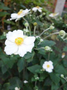 anemone-hupehensis-dsc01896