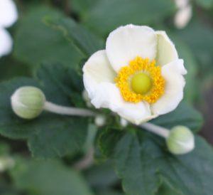 anemone-hupehensis-dsc01898