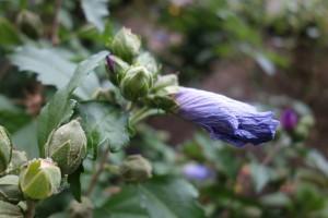 hibiscus-syriacus-dsc05395