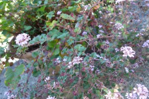 pelargonium drummondii DSC05247