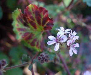 pelargonium drummondii DSC05249