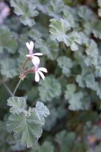 pelargonium fragrans DSC05233