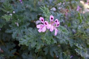 pelargonium quercifolium DSC05238