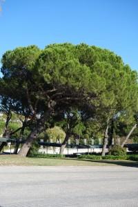 amalia-pinus-pinea-dsc05639