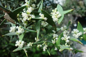 colletia-dsc05564