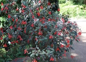 fuchsia-corymbilflora-dsc05541