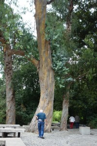 gulbenkian-eucalyptus-dsc06033