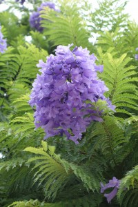 jacaranda-mimisifolia-dsc06019