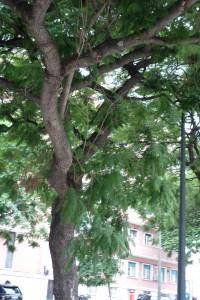 jacaranda-mimosifolia-dsc06018