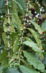jb-coffea-arabica-dsc05803