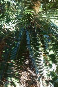 jb-encephalartos-villosus-dsc05867