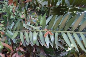 jb-encephalartos-villosus-dsc05885