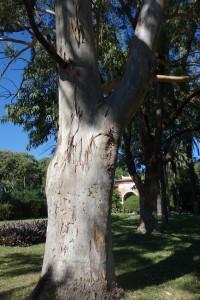 jb-eucalyptus-tereticornis-dsc05772