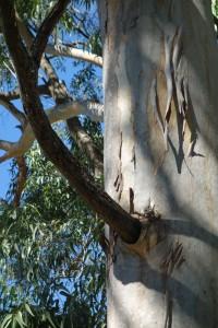 jb-eucalyptus-tereticornis-dsc05773