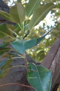 jb-ficus-macrophylla-dsc05832