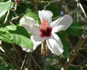 jb-hibiscus-syriacus-red-heart-dsc05695