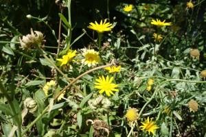 grindelia-robusta-dsc04111