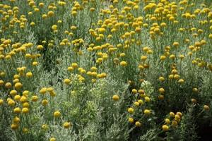 santolina-chamaecyparissus-dsc04433