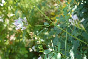 galega-officinalis-dsc04104