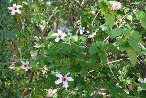 jb-hibiscus-rosa-sinensis-dsc05696