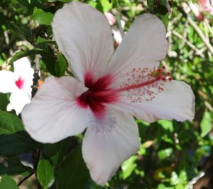 jb-hibiscus-syriacus-red-heart-dsc05505