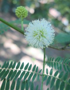 leucaena-leucophala-dsc04134