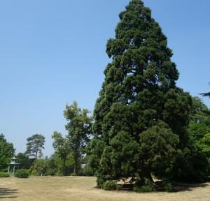 sequoiadendron gigateum paris bag. DSC08869