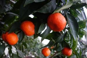 citrus clemantina