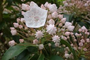 kalmia latifolia sylver
