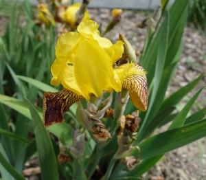 Iris variegata DSC05384