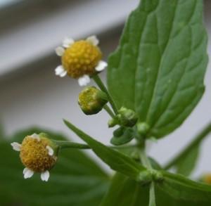 Galinsoga petites fleurs R0011706(1)