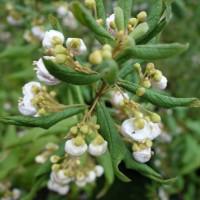 bowkeria cymosa DSC02132