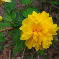 kerria japonica 0035