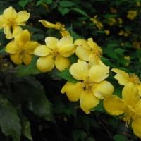 kerria japonica (2)
