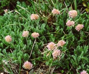 anthyllis montana PICT2624
