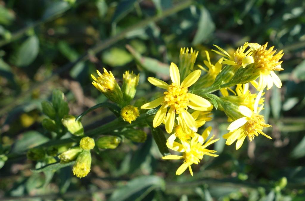 Solidage verge d'or, Solidage des bois, Herbe des juifs – Ma Botanique